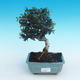 Indoor bonsai - Olea europaea sylvestris -Oliva european tiny - 1/5