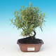 Room bonsai - Rosemary-Rosmarinus officinalis - 1/3