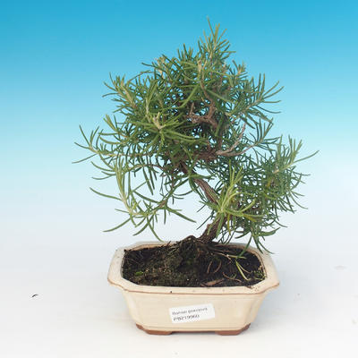 Room bonsai - Rosemary-Rosmarinus officinalis - 1
