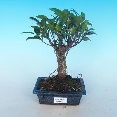 Room bonsai - Ficus retusa - malolistý ficus - 1