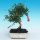 Room bonsai-PUNICA granatum nana-pomegranate - 1/4