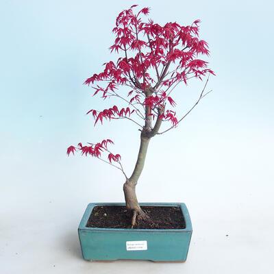 Outdoor bonsai - Maple palmatum DESHOJO - Maple palm - 1