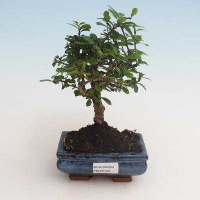 Indoor bonsai - Carmona macrophylla - Tea fuki 412-PB2191334 - 1