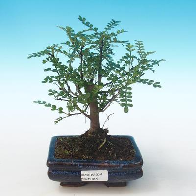 Indoor bonsai - Zantoxylum piperitum - Pepper tree PB2191273 - 1