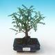 Indoor bonsai - Zantoxylum piperitum - Pepper tree PB2191273 - 1/4