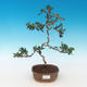 Indoor bonsai - Olea europaea sylvestris -Oliva european tiny - 1/5