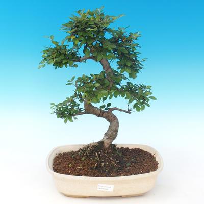 Indoor bonsai - Ulmus parvifolia - Small leaf elm PB2191289 - 1