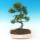 Indoor bonsai - Ulmus parvifolia - Small leaf elm PB2191289 - 1/3