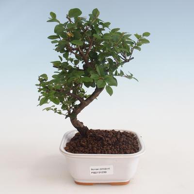 Indoor bonsai - Sagerécie thea - Sagerécie thea 412-PB2191298 - 1