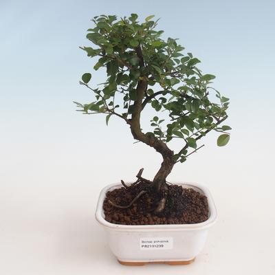 Indoor bonsai - Sagerécie thea - Sagerécie thea 412-PB2191299 - 1