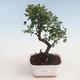 Indoor bonsai - Sagerécie thea - Sagerécie thea 412-PB2191299 - 1/4