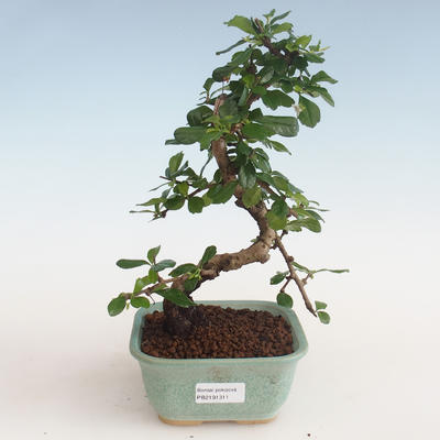 Indoor bonsai - Carmona macrophylla - Tea fuki PB2191311 - 1