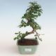 Indoor bonsai - Carmona macrophylla - Tea fuki PB2191311 - 1/5