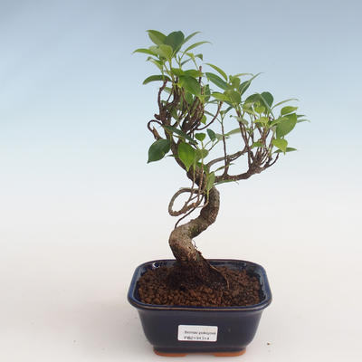 Indoor bonsai - Ficus kimmen - small leaf ficus PB2191314
