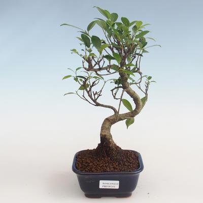 Indoor bonsai - Ficus kimmen - small leaf ficus PB2191315