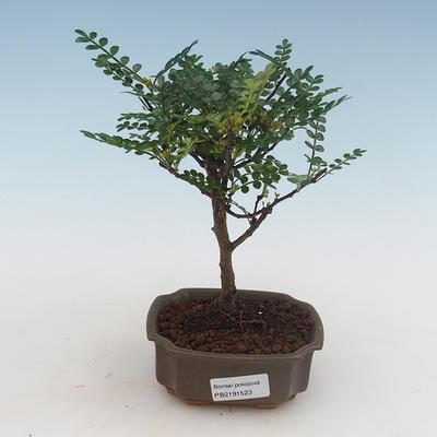Indoor bonsai - Ficus kimmen - small leaf ficus PB2191316