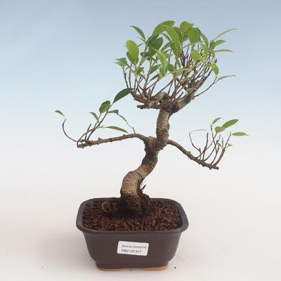 Indoor bonsai - Ficus kimmen - small leaf ficus PB2191317