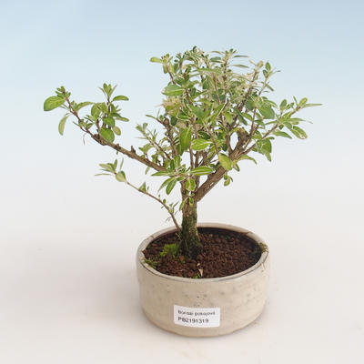 Indoor bonsai - Serissa foetida Variegata - Tree of a Thousand Stars PB2191319 - 1