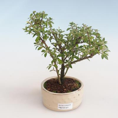 Indoor bonsai - Serissa foetida Variegata - Tree of a Thousand Stars PB2191321 - 1