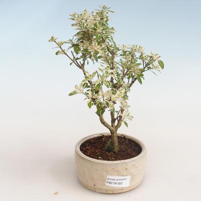 Indoor bonsai - Serissa foetida Variegata - Tree of a Thousand Stars PB2191322 - 1