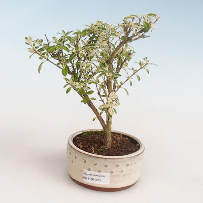 Indoor bonsai - Serissa foetida Variegata - Tree of a Thousand Stars PB2191323 - 1