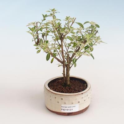 Indoor bonsai - Serissa foetida Variegata - Tree of a Thousand Stars PB2191324 - 1