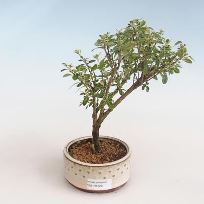 Indoor bonsai - Serissa foetida Variegata - Tree of a Thousand Stars PB2191326 - 1