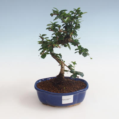 Indoor bonsai - Carmona macrophylla - Tea fuki PB2191327 - 1