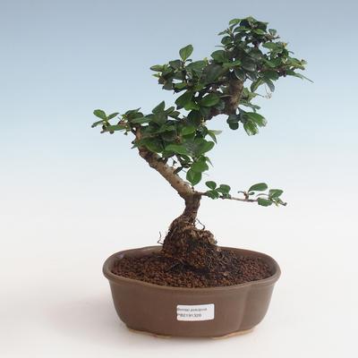 Indoor bonsai - Carmona macrophylla - Tea fuki PB2191328 - 1