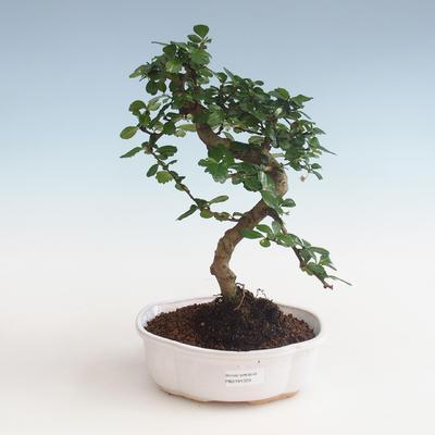 Indoor bonsai - Carmona macrophylla - Tea fuki PB2191329 - 1