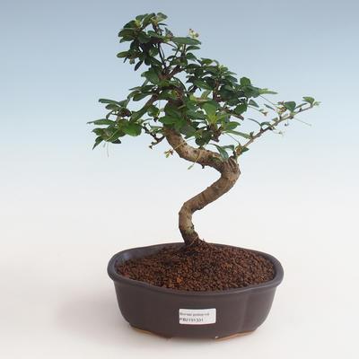 Indoor bonsai - Carmona macrophylla - Tea fuki PB2191331 - 1