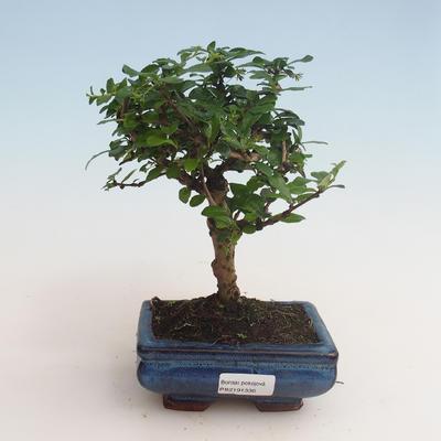 Indoor bonsai - Carmona macrophylla - Tea fuki 412-PB2191336 - 1