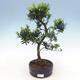 Indoor bonsai - Podocarpus - Stone thous - 1/4