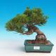 Pinus thunbergii - Pine thunbergova - 1/3