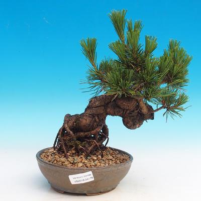 Pinus thunbergii - Pine thunbergova - 1
