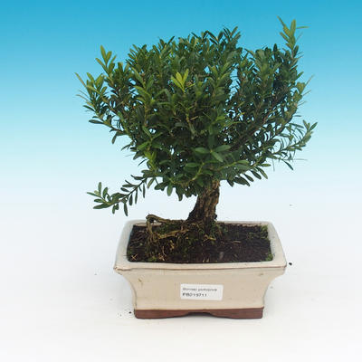Outdoor bonsai - Juniperus chinensis Itoigava-Chinese juniper - 1