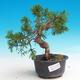 Outdoor bonsai - Juniperus chinensis Itoigava-Chinese juniper - 1/3