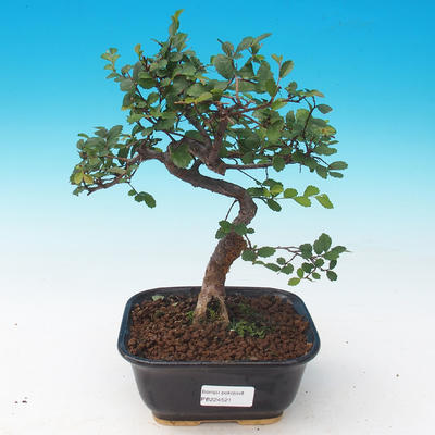 Outdoor bonsai - Japanese apricot - Prunus Mume - 1