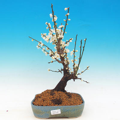 Outdoor bonsai - Japanese apricot - Prunus Mume - 1