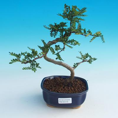 Room bonsai - Zantoxylum piperitum - Pepřovník - 1