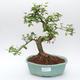 Room bonsai -Ligustrum chinensis - Bird's eye - 1/3