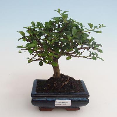Indoor bonsai - Carmona macrophylla - Tea fuki 412-PB2191333 - 1