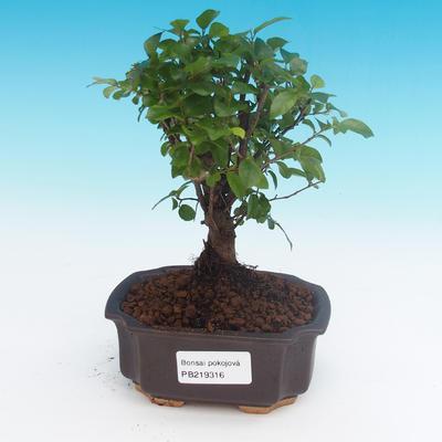 Room bonsai - Sagerécie thea - Sagerécie thea - 1
