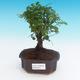 Room bonsai - Sagerécie thea - Sagerécie thea - 1/4