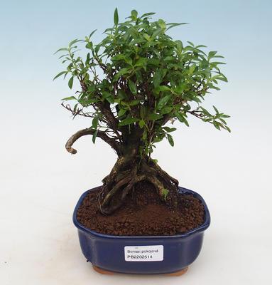 Indoor bonsai - Casuarina equisetifolia- Horsetail - 1