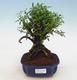 Indoor bonsai - Casuarina equisetifolia- Horsetail - 1/6