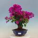 Outdoor bonsai -Malus Halliana - fruited apple - 1/4