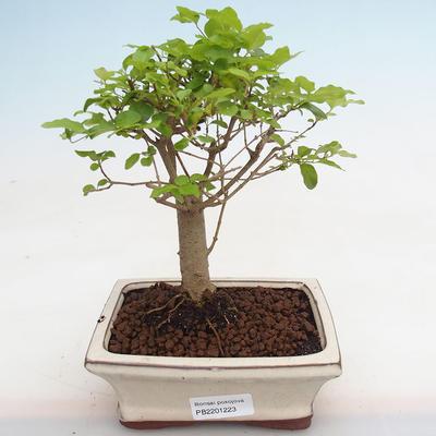 Indoor bonsai -Ligustrum chinensis - Bird's beak PB2201223 - 1