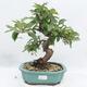 Outdoor bonsai -Malus Halliana - fruited apple - 1/6