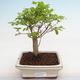 Indoor bonsai -Ligustrum chinensis - Bird's beak PB2201223 - 1/3